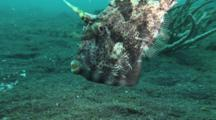 Strapweed Filefish, Pseudomonacanthus Macrurus, Follows Camera