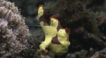 Warty Frogfish, Antennarius Maculatus, With Flower Urchin, Toxopneustes Pileolus