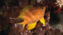 Golden Damsel, Amblyglyphidodon Aureus, At Night With Dorsal Spines Raised