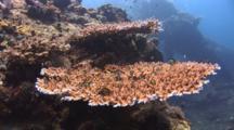 Table Corals, Acropora Sp., With Cloudy Damsels, Dascyllus Carneus