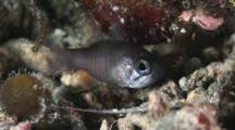 Ghost Cardinalfish, Nectamia Fusca Or Samoan Cardinalfish, Nectamia Savayensis
