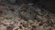Randall's Prawn-Goby, Amblyeleotris Randalli, Flees Into Burrow