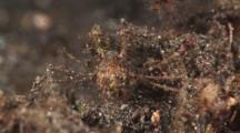 Decorator Spider Crab, Achaeus Sp.