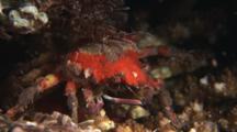 Sponge Decorator Crab, Schizophrys Sp. Or Hyastenus Elatus