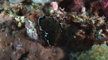 Gold-Speckled Flatworm, Thysanozoon Nigropapillosum, Crawls Over Coral Reef