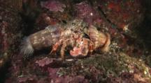 Anemone Hermit Crab, Dardanus Pedunculatus, Carrying Sea Anemones, Calliactis Polypus