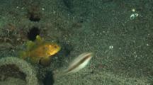 Bullseye Cardinalfish, Apogonichthyoides Nigripinnis, And Juvenile Wrasse, Oxycheilinus Sp.