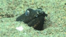 Napoleon Snake Eel, Ophichthus Bonaparti, Buried In Sand With Only Head Showing