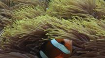 Banggai Cardinalfish, Pterapogon Kauderni, And Clark's Anemonefish, Amphiprion Clarkii, In Long-Tentacle Anemone, Macrodactyla Doreensis