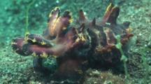 Flamboyant Cuttlefish, Metasepia Pfefferi, Retreats Slowly Across Sand
