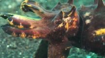 Flamboyant Cuttlefish, Metasepia Pfefferi, Retreats. Close Up Of Head And Tentacles