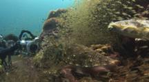 Underwater Videographer Videos  Male Pharaoh Cuttlefish, Sepia Pharaonis, While Female Deposits Eggs In Reef