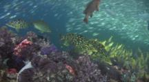 Smalltooth Emperor, Lethrinus Microdon, Over Soft Coral Reef With Schooling Fish