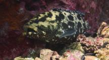 Camouflage Grouper, Epinephelus Polyphekadion, Retreats With Mouth Open