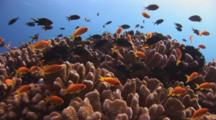 Lyretail Anthias, Pseudanthias Squamipinnis, And Damsels Over Cauliflower Coral, Pocillopora Sp.