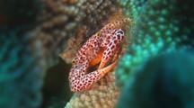 Red-Spotted Coral Crab, Trapezia Rufopunctata Or Trapezia Tigrina, In Cauliflower Coral, Pocillopora Sp.