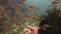 Flower Cardinalfish, Ostorhinchus Fleurieu, School Over Black Sun Coral