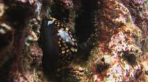 Humpback Cowry (Humpback Cowrie), Mauritia Mauritiana