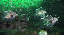 School Of Red Lionfish (Pterois Volitans) Or Devil Firefish (Pterois Miles) In Deep Green Water