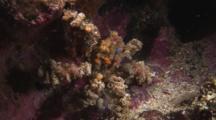 Spider Decorator Crab, Camposcia Retusa, Crawls Over Reef
