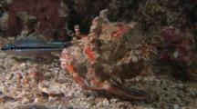 Anemone Hermit Crab, Dardanus Pedunculatus, And Cardinalfish, Apogon Sp.