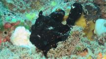 Black Painted Frogfish, Antennarius Pictus, Standing On Reef