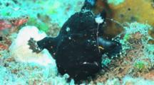 Black Painted Frogfish, Antennarius Pictus, Walking Very Slowly Over Reef