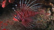 Spotfin Lionfish, Pterois Antennata, Resting At Night