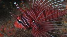 Spotfin Lionfish, Pterois Antennata, Resting At Night