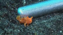 Tiny Juvenile Painted Frogfish, Antennarius Pictus, Walks Next To Steel Pointer