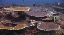 Reef Of Table Corals, Acropora Clathrata And Acropora Hyacinthus, And Montipora Coral With Moorish Idols