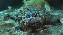Crocodile Fish, Cymbacephalus Beauforti. Close Up Of Eye