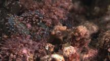 Corallimorph Decorator Crab, Cyclocoeloma Tuberculata. Close Up Of Eyes
