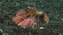 Mating Pair Of Box Crabs, Calappa Sp., Walk Sideways Then Burrow Into Volcanic Sand