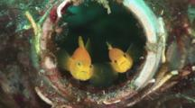 Pair Of Yellow Pygmy Gobies, Lubricogobius Exiguus, Sheltering In Discarded Bottle