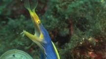 Blue Ribbon Eel (Male), Rhinomuraena Quaesita. Close Up Of Head