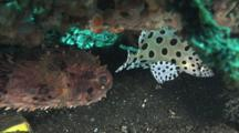 Panther Grouper (Humpback Grouper), Cromileptes Altivelis, And Birdbeak Burrfish, Cyclichthys Orbicularis, Sheltering Under Ledge