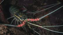 Painted Spiny Lobsters, Panulirus Versicolor, Sheltering In Discarded Truck Tire
