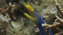 Blue Ribbon Eel (Male), Rhinomuraena Quaesita. Opens Mouth As Warning Display