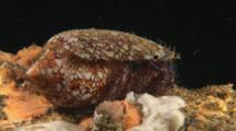 Hairy Red Hermit Crab, Dardanus Lagopodes, Living In Textile Cone Shell