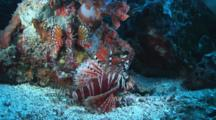 Pair Of Zebra Lionfish, Dendrochirus Zebra, On Sand Next To Reef