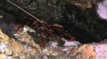 Longlegged Spiny Lobster, Panulirus Longipes, In Cave