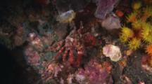 Common Decorator Crab, Schizophrys Aspera, Walking Sideways Over Reef