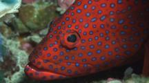 Coral Grouper, Cephalopholis Miniata, Resting On Reef. Close Up Of Head