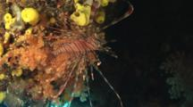 Red Lionfish (Common Lionfish), Pterois Volitans, With Soft Corals And Tunicates