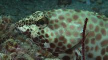 Honeycomb Grouper, Epinephelus Merra, Looks Nervously At Camera
