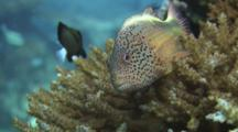 Freckled Hawkfish (Blackside Hawkfish), Paracirrhites Forsteri, Flees From Hard Coral