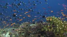 School Of Reticulated Dascyllus, Dascyllus Reticulatus, And Lyretail Anthias Over Coral Reef