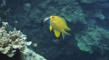 Bluestreak Cleaner Wrasse, Labroides Dimidiatus, Cleans Golden Damsel, Amblyglyphidodon Aureus