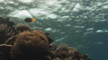 Rain Falls On Water Surface Over Coral Reef. Bicolored Foxface Swims